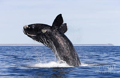 Southern Right Whale Art Print by Francois Gohier and Photo Researchers