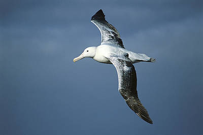 Southern Royal Albatross Diomedea Art Print by Tui De Roy