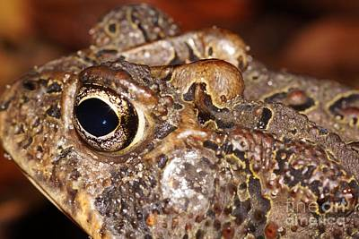 Photograph - Southern Toad Left Side by Lynda Dawson-Youngclaus