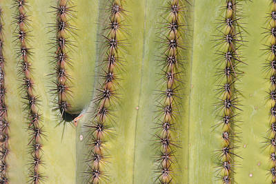 Photograph - Southwest Saguaro Cactus Close-up  by James BO Insogna
