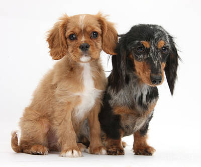 Spaniel & Dachshund Puppies Art Print by Mark Taylor