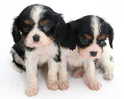 Spaniel Puppies Art Print by Jane Burton