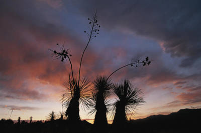 Spanish Bayonet Yucca Plants Art Print by Annie Griffiths