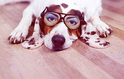 Spanish Hound Dog Lying With Joke Glasses Art Print
