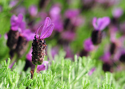 Photograph - Spanish Lavender And Santolina by Rebecca Sherman