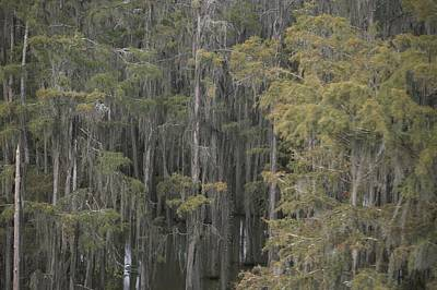 Spanish Moss-draped Trees In Alabama Art Print by Medford Taylor