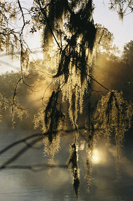 Spanish Moss Hanging From A Tree Branch Art Print by Medford Taylor
