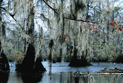Spanish Moss Hanging From The Branches Art Print by Raymond Gehman