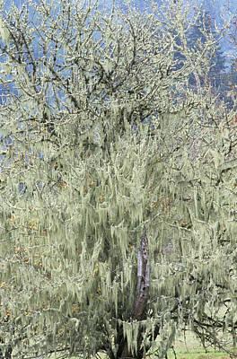Spanish Moss (tillandsia Usneoides) Art Print
