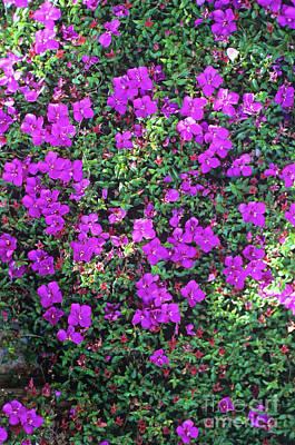 Spanish Shawl Photograph - Spanish Shawl Flowers by Adrian Thomas