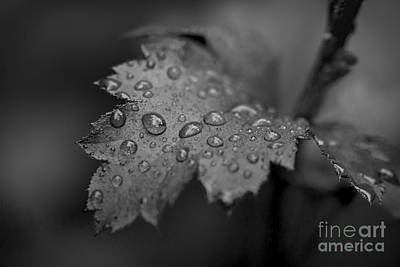 Photograph - Sparkling Raindrops On Heuchera Monochrome by Clare Bambers