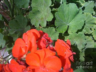 Photograph - Sparkly Leaves With Red Blooms by Barbara Plattenburg