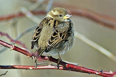 Photograph - Sparrow IIi by Joe Faherty