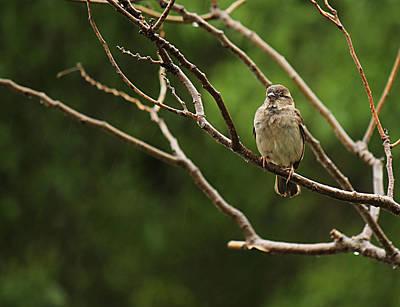 Sparrow In The Rain Art Print