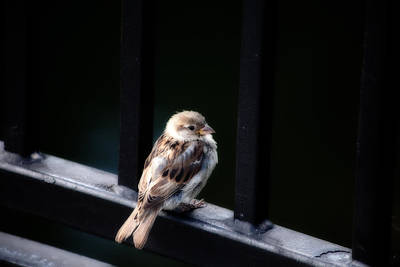 Photograph - Sparrow by Karol Livote