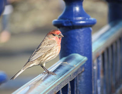 Photograph - Sparrow On Railing by Bonnie Muir