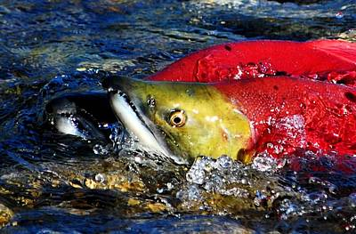 Salmon Photograph - Spawning Sockeye Salmon by Don Mann