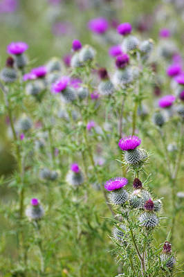 Spear Thistle (cirsium Vulgare) Art Print by Duncan Shaw