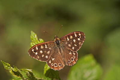 Speckled Wood Art Print by Paul Scoullar
