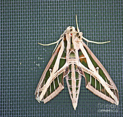 Photograph - Sphinx Moth - Full Body by Terri Mills