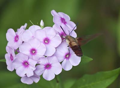 Phlox Paniculata Photograph - Sphinx Moth 1 by Teresa Mucha