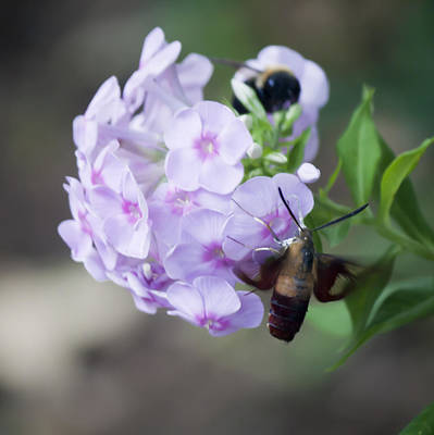 Phlox Paniculata Photograph - Sphinx Moth 2 by Teresa Mucha