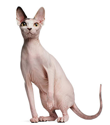 Hairless Cat Photograph - Sphynx (13 Months Old) by Life On White