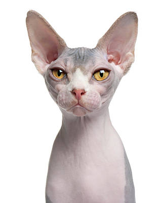 Hairless Cat Photograph - Sphynx (7 Months Old) by Life On White