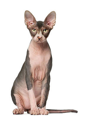 Hairless Cat Photograph - Sphynx (7 Months Old) Sitting by Life On White