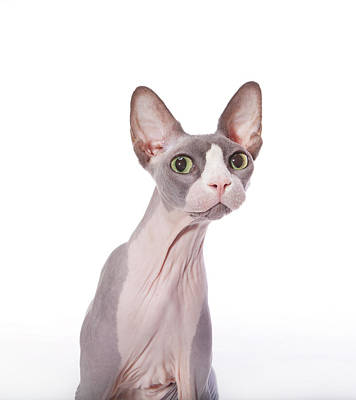 Hairless Cat Photograph - Sphynx Cat With Surprised Expression by DC Photo