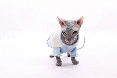 Hairless Cat Photograph - Sphynx Hairless Cat. by With love of photography