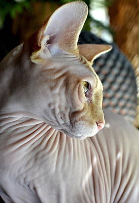 Photograph - Sphynx In Profile by Fraida Gutovich