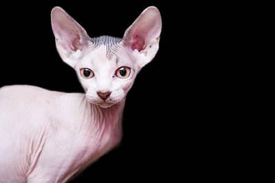 Hairless Cat Photograph - Sphynx Kitten Sweet Cute Hairless Pet Cat by Alper Tunc