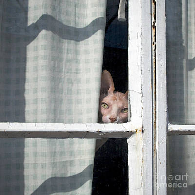 Pet Portraits Digital Art - Sphynx Peeks 'round The Curtain by Glennis Siverson