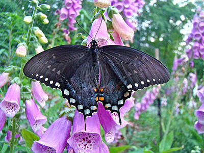Spicebush Swallowtail Butterfly On Foxgloves - Papilio Troilus Art Print by Mother Nature