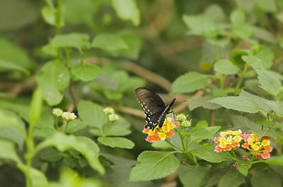Photograph - Spicebush Swallowtail Butterfly On Lantana Shrub Verbena by Marianne Campolongo