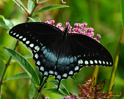 Photograph - Spicebush Swallowtail Din038 by Gerry Gantt