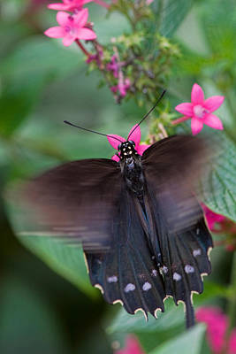 Palm Trees - Spicebush Swallowtail by Joann Vitali