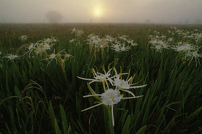 Hymenocallis Photograph - Spider Lilies Thriving On A Tallgrass by Raymond Gehman
