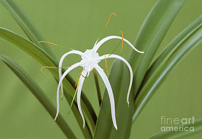 Hymenocallis Photograph - Spider Lily (hymenocallis Harrisiana) by Archie Young