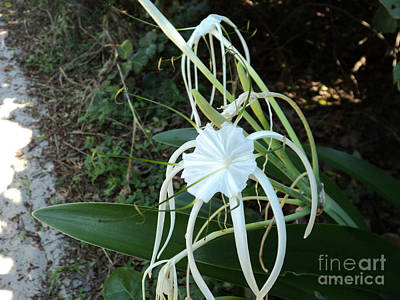 Photograph - Spider Lily3 by Megan Dirsa-DuBois