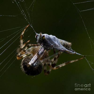 Photograph - Spider Multitasking by Jorgen Norgaard