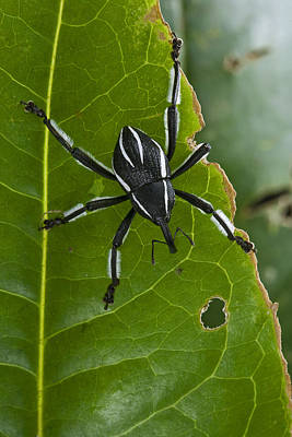 Spider Weevil Papua New Guinea Art Print