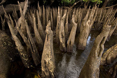 Kosrae Island Photograph - Spiked Breathing Roots Pneumatophores by Tim Laman