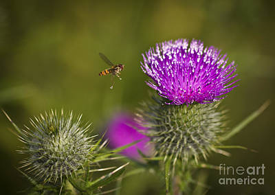 Photograph - Spiky Thistle by Clare Bambers
