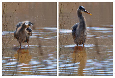 Blue Heron Photograph - Spin And Fluff Dry Heron - C3219d by Paul Lyndon Phillips