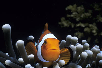 Spine-cheek Anemonefish Art Print by Jeff Rotman