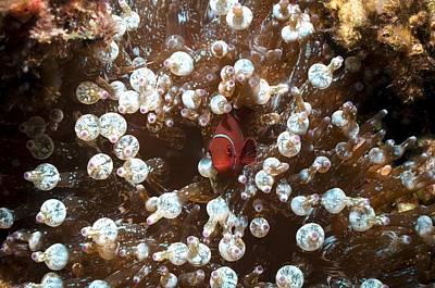 Clown Fish Photograph - Spinecheek Anemonefish by Georgette Douwma