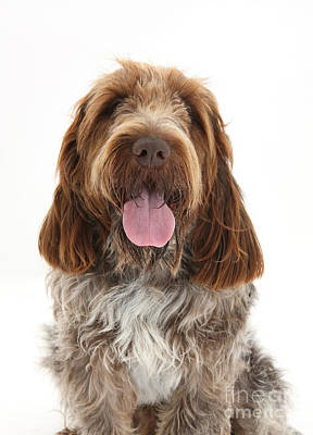 Spinone Photograph - Spinone Italiano by Mark Taylor