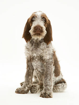 Spinone Photograph - Spinone Puppy by Jane Burton